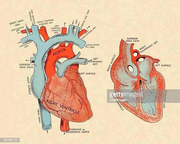 diagram of heart - beating heart stock illustrations