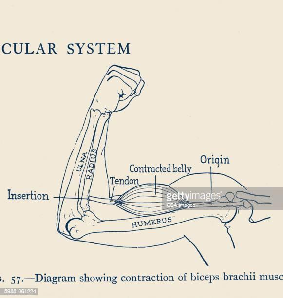 diagram of human arm - graph stock illustrations