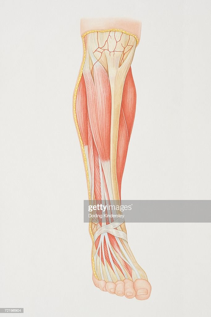 diagram of lower leg illustrating muscle groups, nerves and veins  - stock  illustration