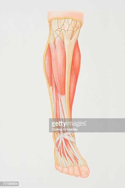 Diagrama de elemento inferior da perna ilustrando grupos musculares, nervos e veia