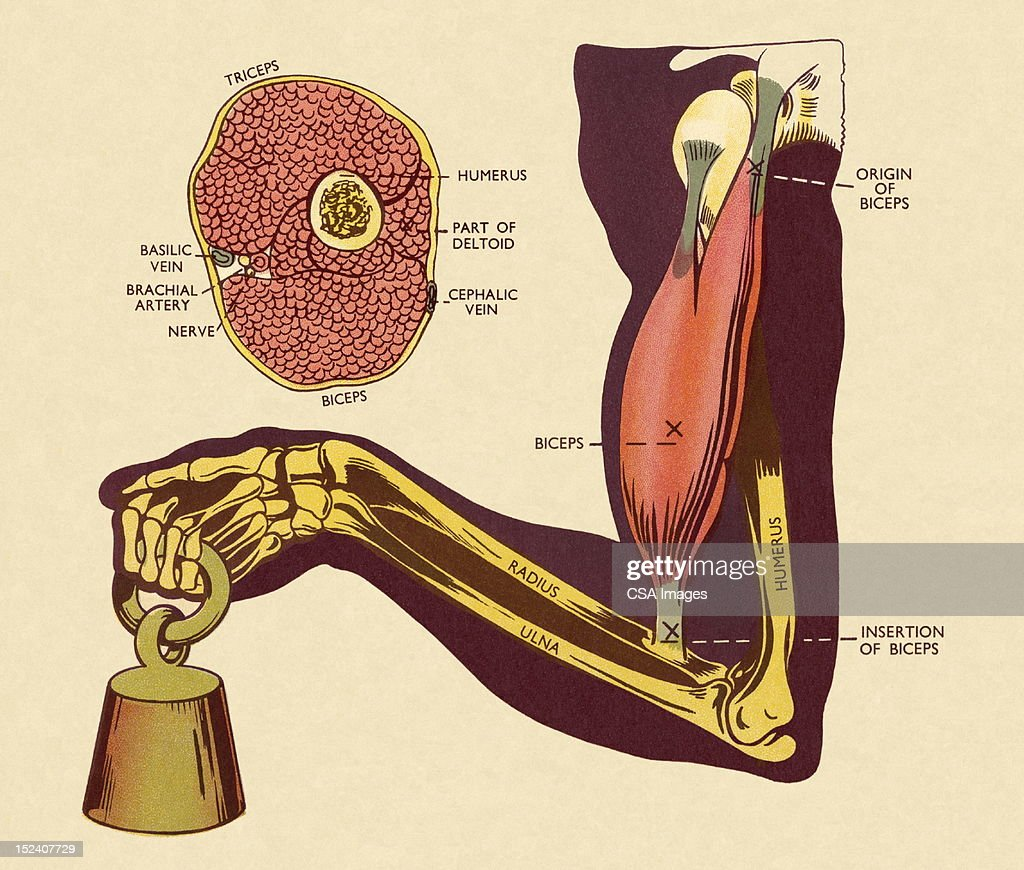 Diagram Of Of Muscles And Bones In Arm Stock Illustration Getty Images