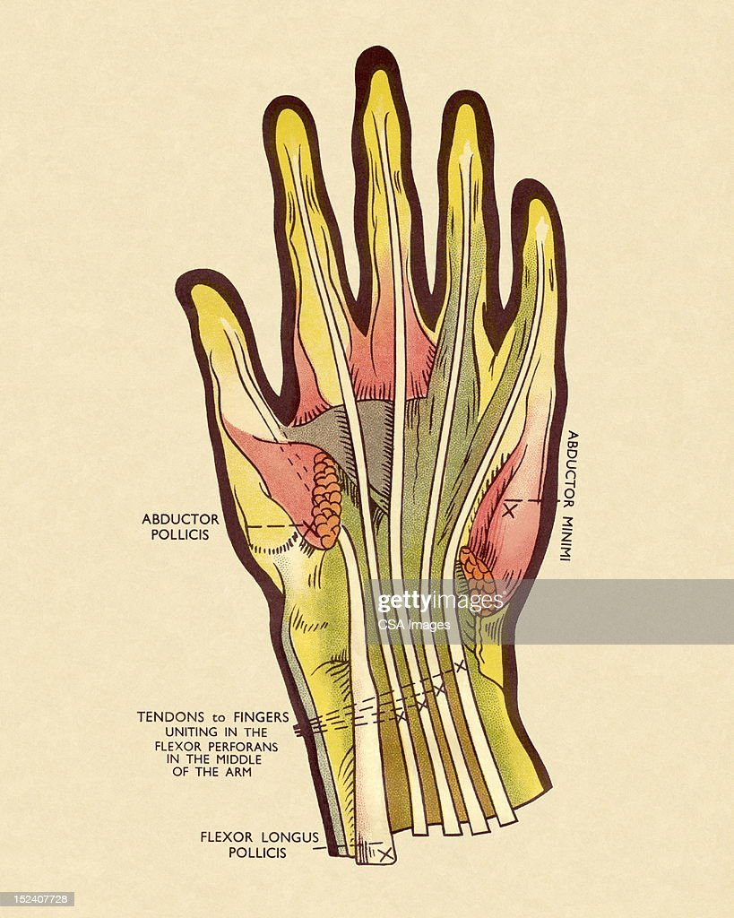 Diagram Of Tendons In Hand Stock Illustration Getty Images