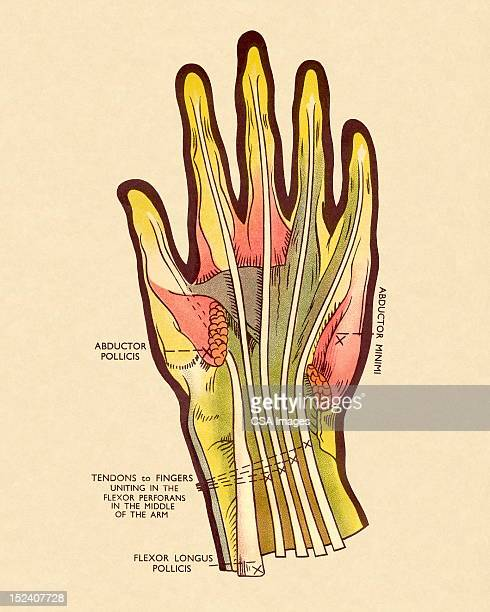 diagram of tendons in hand - tendon stock illustrations