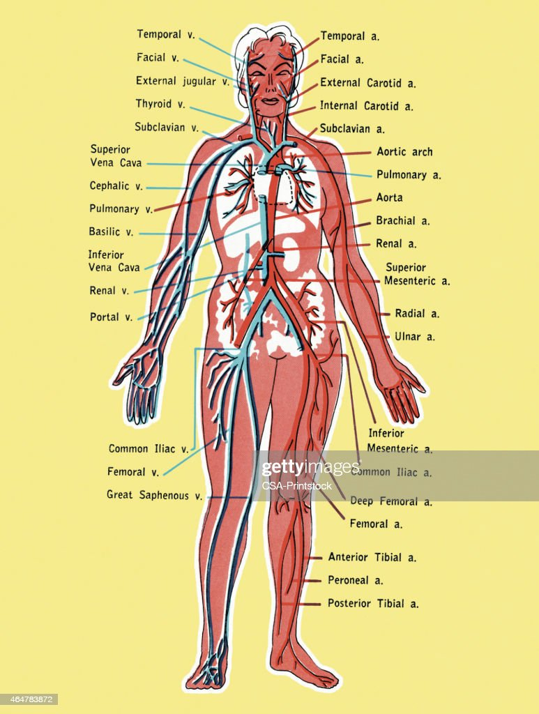Diagram Of The Circulatory System Stock Illustration Getty Images