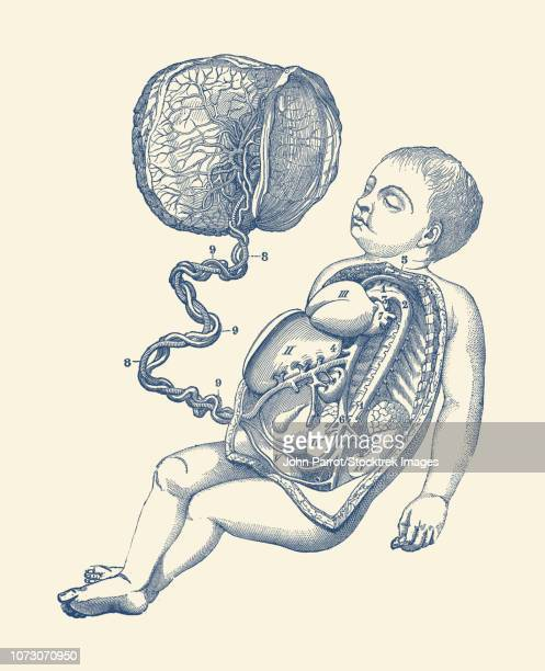 Placenta Stock Illustrations And Cartoons