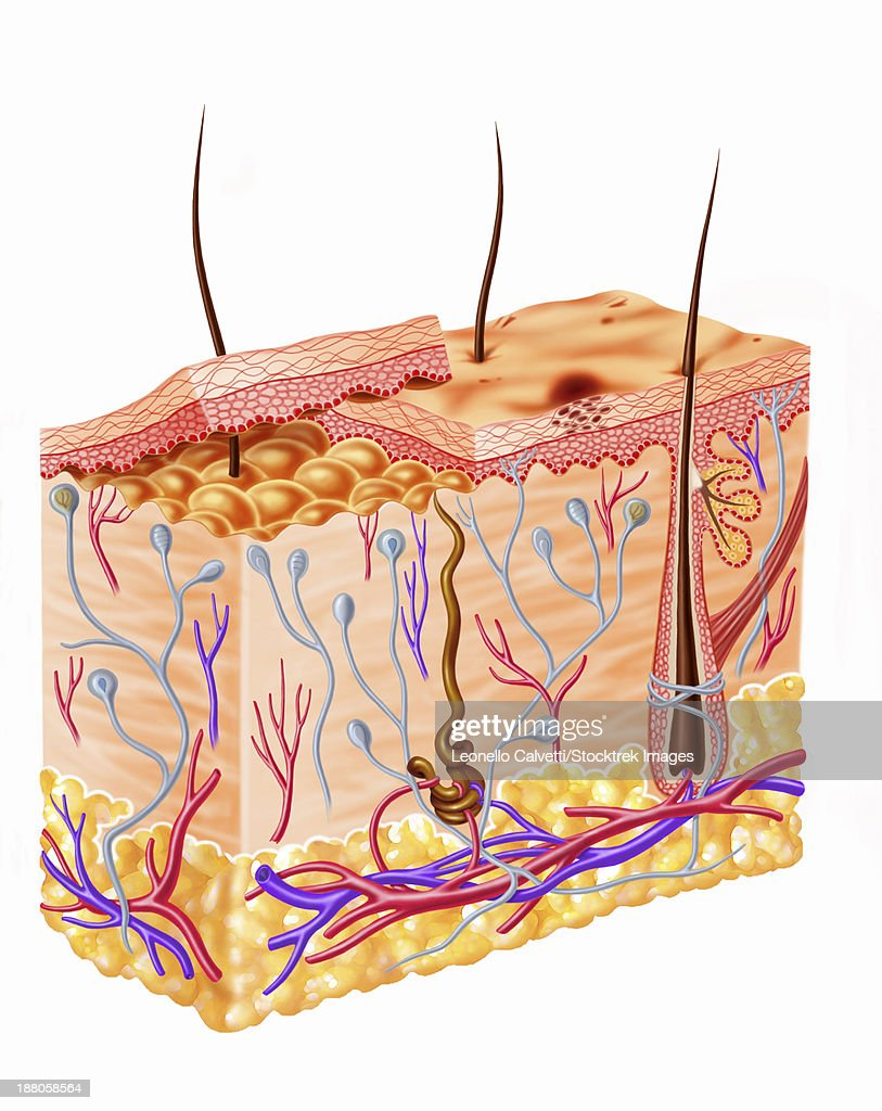 Diagram Showing Anatomy Of Human Skin Stock Illustration | Getty Images