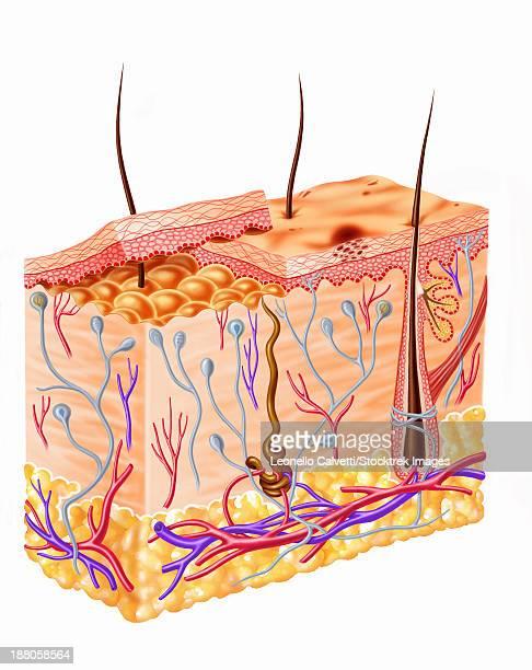 diagram showing anatomy of human skin. - dermis stock illustrations