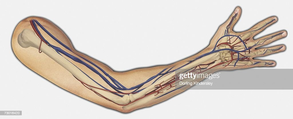 Diagram Showing Bones Veins And Arteries In A Human Arm ...