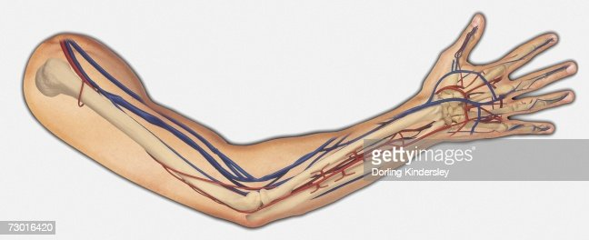Diagram Showing Bones Veins And Arteries In A Human Arm