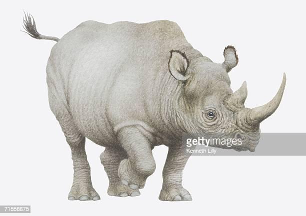 Diceros bicornis, Black Rhinoceros.