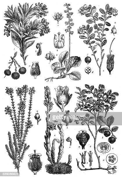 dicotyledons: sympetalae - raspberry stock illustrations, clip art, cartoons, & icons