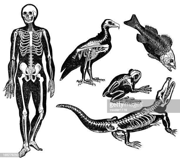 Diferentes de Esqueletos