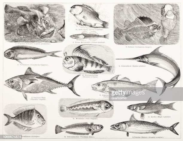 Different fish tuna and swordfish illustration