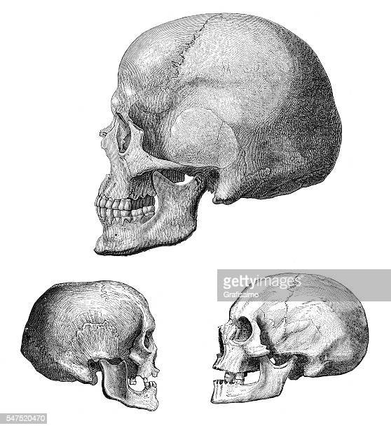 illustrazioni stock, clip art, cartoni animati e icone di tendenza di different human skull of cro-magnon 1880 - paleolitico
