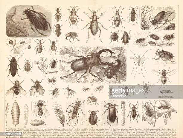 different insects stag beetle and fly illustration - linnaeus stock illustrations