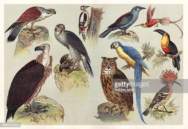 different kids of birds chromolithography 1888 - lithograph stock illustrations