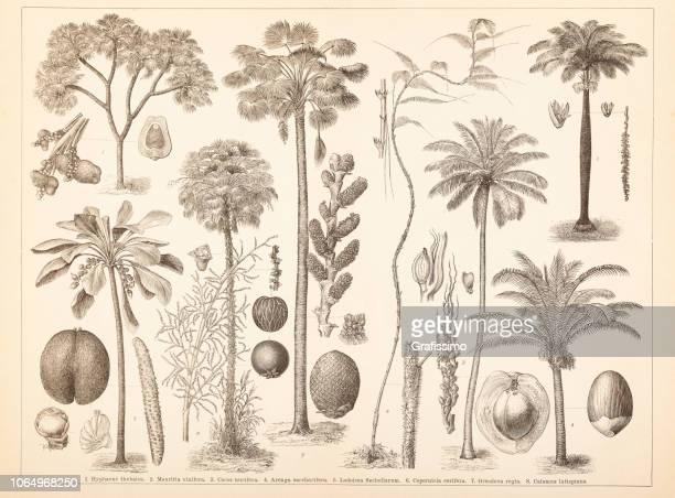 illustrations, cliparts, dessins animés et icônes de illustration de noix de coco palm différents arbres - feuille de palmier