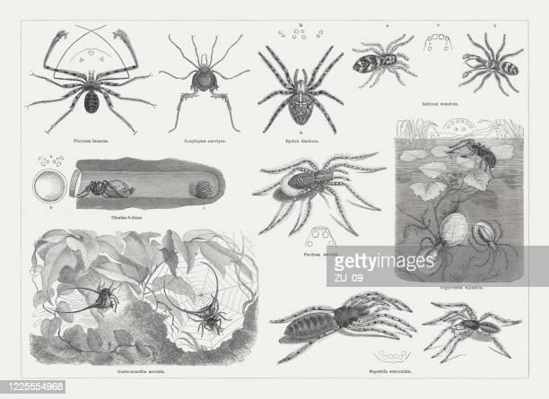 異なるクモ、木の彫刻、1884年に出版 - ニワオニグモ点のイラスト素材/クリップアート素材/マンガ素材/アイコン素材