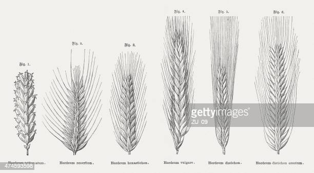 different types of barley, wood engravings, published in 1876 - barley stock illustrations, clip art, cartoons, & icons