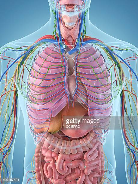 digestive system, artwork - human small intestine stock illustrations