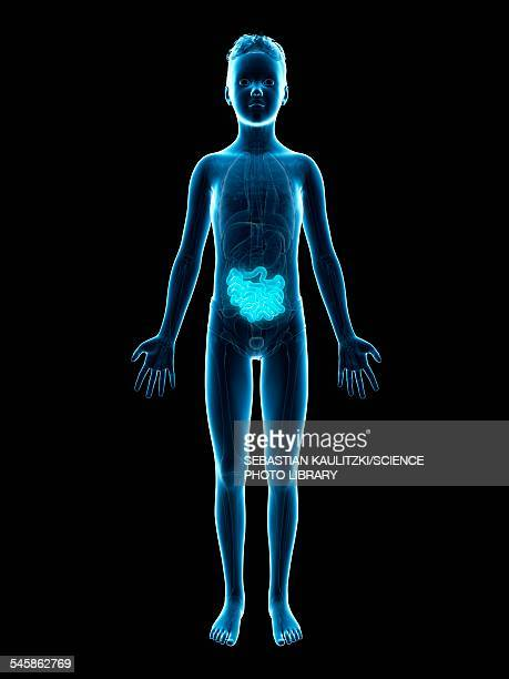 digestive system of a boy, illustration - human small intestine stock illustrations
