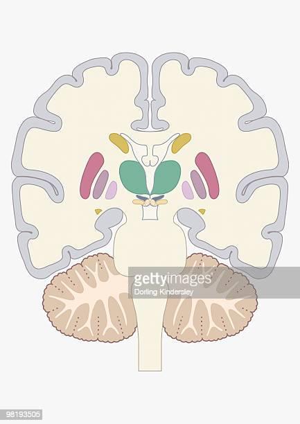 digital cross section illustration of human brain showing location of basal nuclei - basal ganglia stock illustrations, clip art, cartoons, & icons