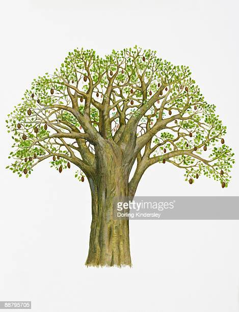 Digital illustration of Adansonia digitata (Baobab), with abundance of green leaves and brown fruits on brabches