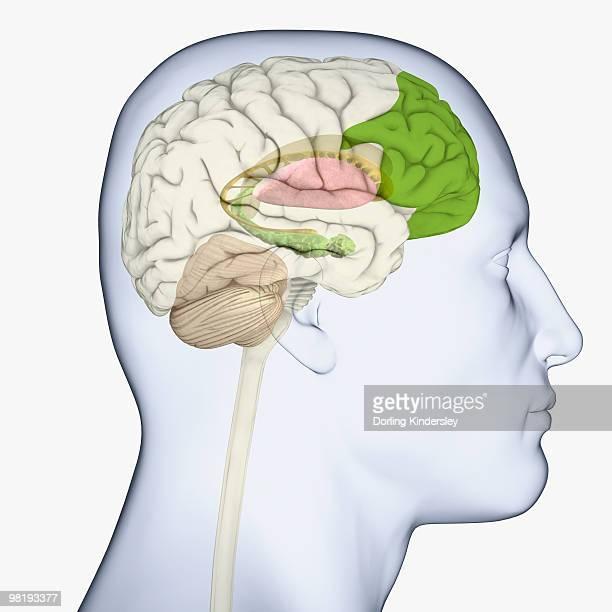digital illustration of adult human head in profile highlighting parts of brain - basal ganglia stock illustrations, clip art, cartoons, & icons