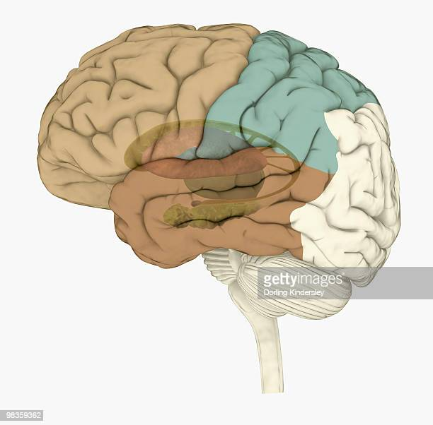 digital illustration of areas associated with memory in human brain - temporal lobe stock illustrations, clip art, cartoons, & icons