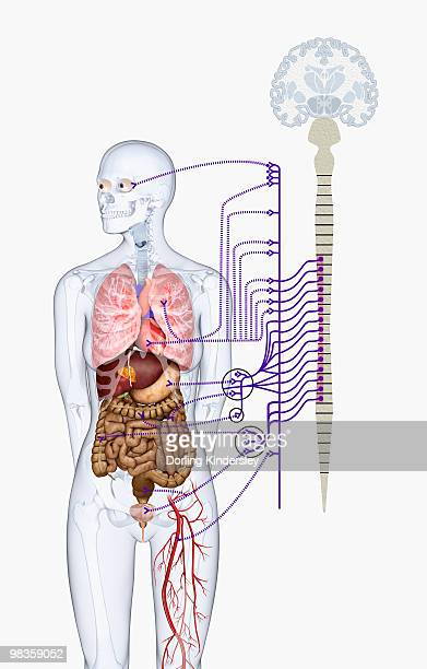 ilustraciones, imágenes clip art, dibujos animados e iconos de stock de digital illustration of autonomic nervous system responsible for automatic body functions - modelos del cuerpo humano