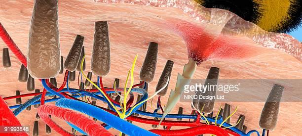 digital illustration of bee stinger penetrating below skin between hair follicles and blood vessels - hair follicle stock illustrations