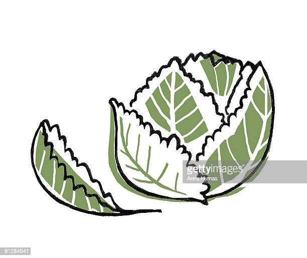 digital illustration of brassica oleracea (savoy cabbage) - savoy cabbage stock illustrations, clip art, cartoons, & icons