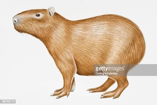 digital illustration of capybara (hydrochoerus hydrochaeris), a large south american rodent - capybara stock illustrations