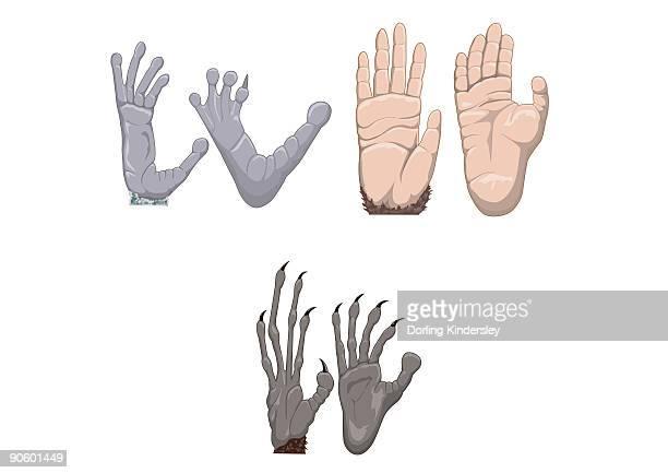 digital illustration of chimpanzee, aye-aye, and indri lemur hands and feet - great ape stock illustrations