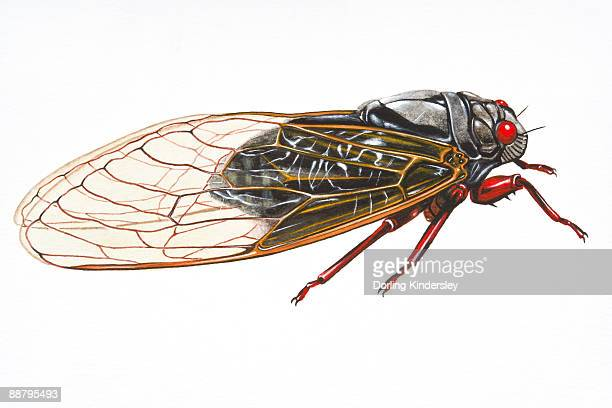 Digital illustration of Cicada (Magicicada septendecim), insect found in the USA and Canada
