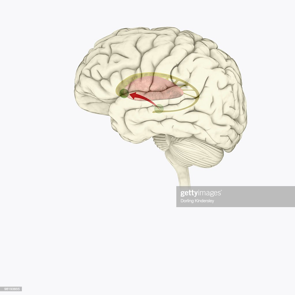 Digital Illustration Of Direction Of Dopamine Flow Nucleus Accumbens ...