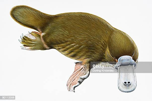 digital illustration of duck-billed platypus (ornithorhynchus anatinus), a semi-aquatic mammal  - duck billed platypus stock illustrations