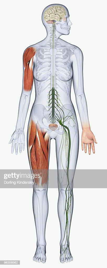 Digital Illustration Of Female Anatomy Showing Brain Muscles In Arm