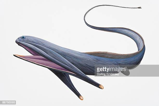 Digital illustration of Gulper Eel or Pelican Eel (Eurypharynx pelecanoides), with large mouth and long tail