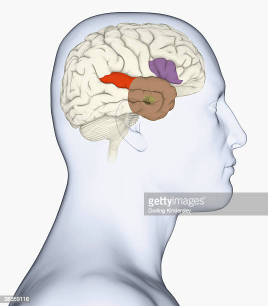 ilustraciones, imágenes clip art, dibujos animados e iconos de stock de digital illustration of head in profile showing amygdala, auditory cortex, wernicke's area, and anterior temporal lobe in human brain - modelos del cuerpo humano