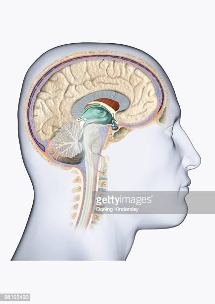 Digital illustration of head in profile showing brain