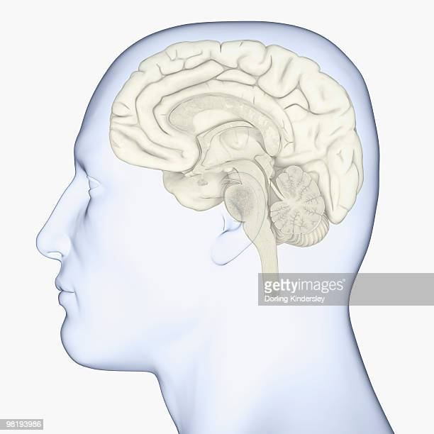 ilustraciones, imágenes clip art, dibujos animados e iconos de stock de digital illustration of head in profile showing brain - modelos del cuerpo humano