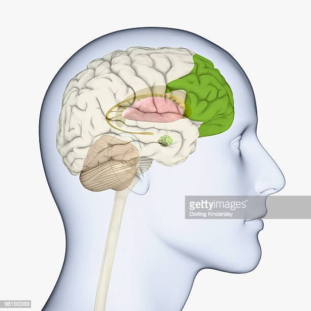 digital illustration of head in profile showing brain of mid adult man with fully developed prefrontal cortex - basal ganglia stock illustrations, clip art, cartoons, & icons