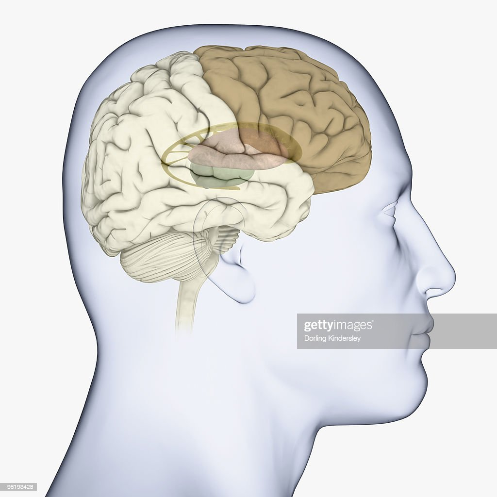 Digital Illustration Of Head In Profile Showing Brain With Basal ...
