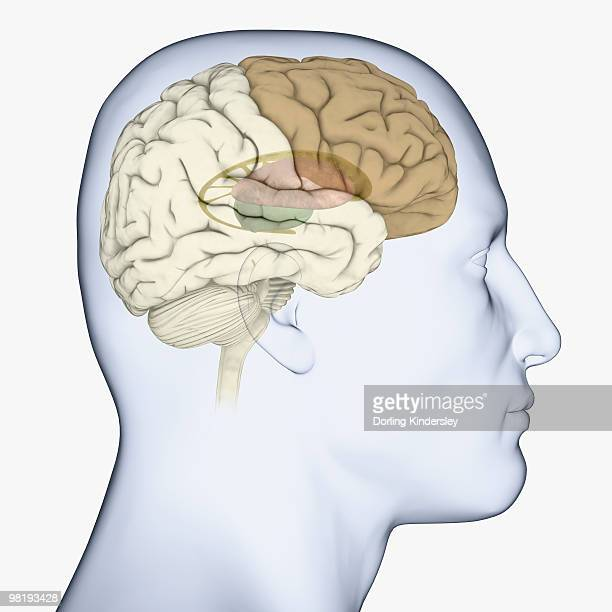 digital illustration of head in profile showing brain with basal ganglia, thalamus and frontal cortex highlighted - basal ganglia stock illustrations, clip art, cartoons, & icons