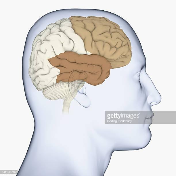 ilustrações, clipart, desenhos animados e ícones de digital illustration of head in profile showing frontal lobe and temporal lobe in brain - lobo temporal