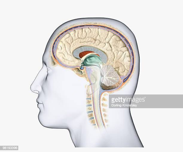 digital illustration of head in profile showing pituitary tumour in human brain - brain tumour stock illustrations