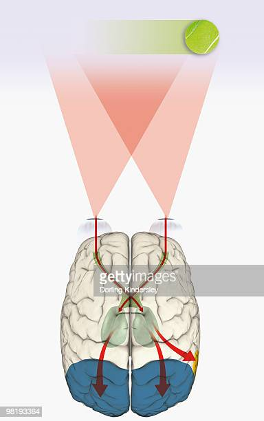 digital illustration of how human brain uses blindsight to visualize moving tennis ball - optic nerve stock illustrations, clip art, cartoons, & icons