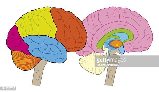 ilustrações, clipart, desenhos animados e ícones de digital illustration of human brain showing lobes and cross section - lobo temporal
