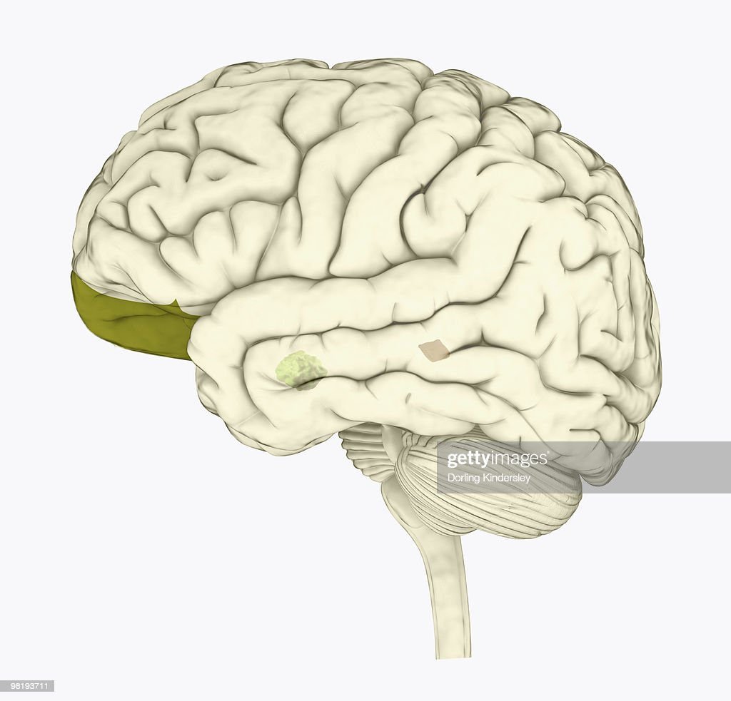 Digital illustration of human brain with orbitofrontal cortex and amygdala highlighted in green : stock illustration